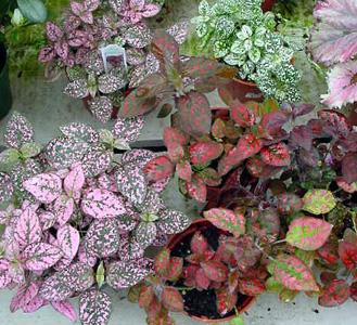 Polka-Dot Plant – Hypoestes phyllostachya