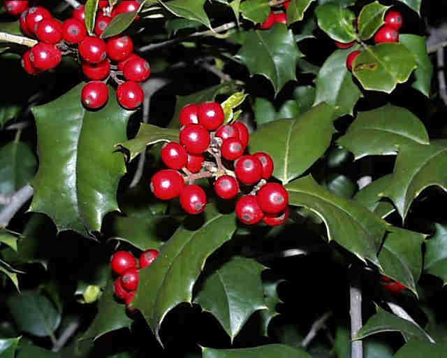 Holly – Ilex spp.