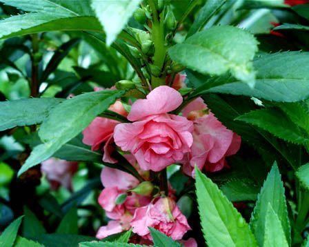 Garden Balsam – Impatiens balsamina
