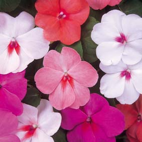 Touch-Me-Not Flowers – Impatiens walleriana