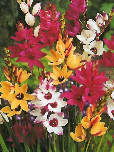 African Corn Lily Ixia Bulbs Wand Flower Guide