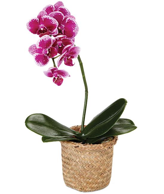 Jan - Purple Spotted Phalaenopsis