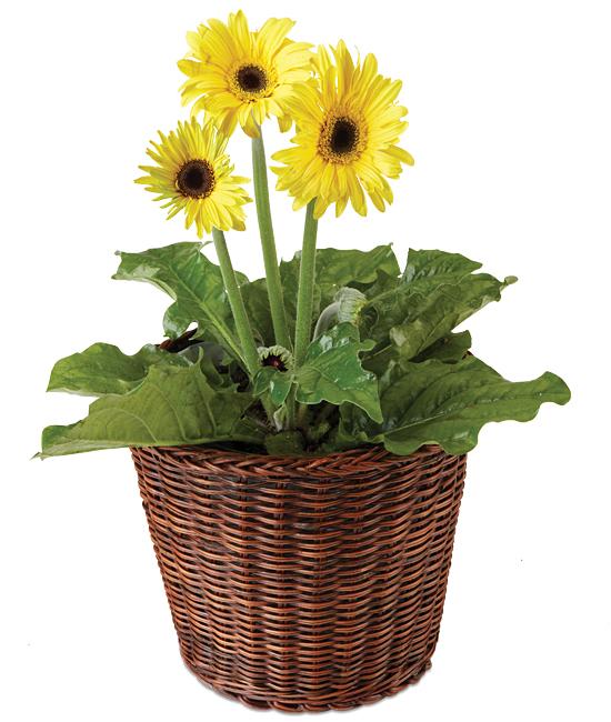 Jul - Yellow Gerbera Plant