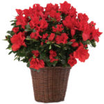 Red Azalea Plant in Basket