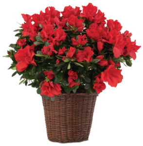 Red Azalea Plant in Basket