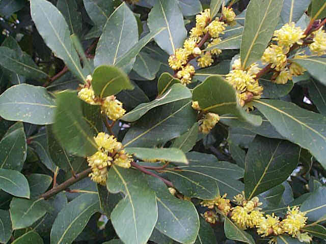 Sweet Bay – Laurus nobilis