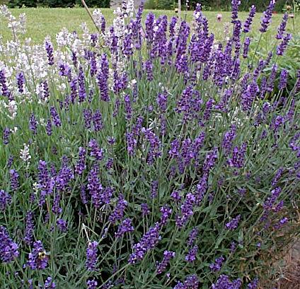 Lavender – Lavandula spp. (mostly L. angustifolia)
