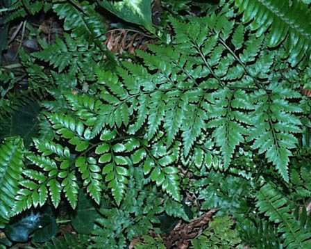 Leatherleaf Fern – Rumohra adiantiformis