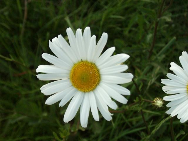 Ox-Eyed Daisy – Leucanthemum vulgare