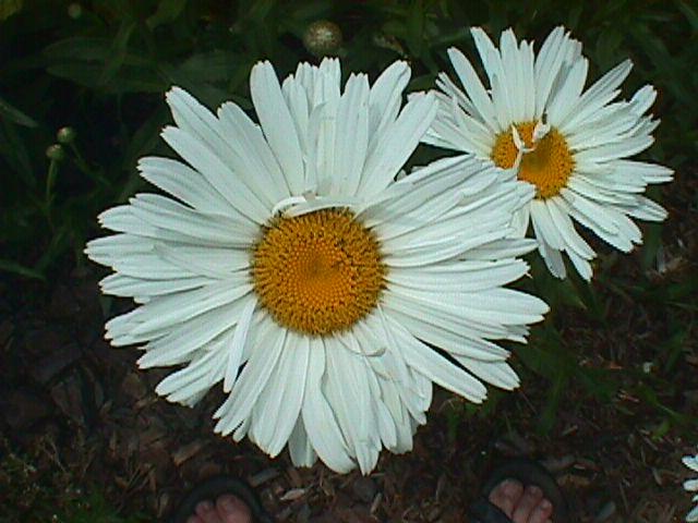 Shasta Daisy – Leucanthemum X superbum