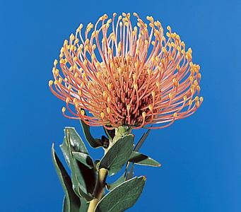 Pincushion – Leucospermum spp.