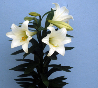 Easter Lily – Lilium longiflorum