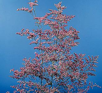Sea-lavender – Limonium spp.