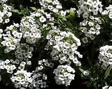 Sweet Alyssum – Lobularia maritima