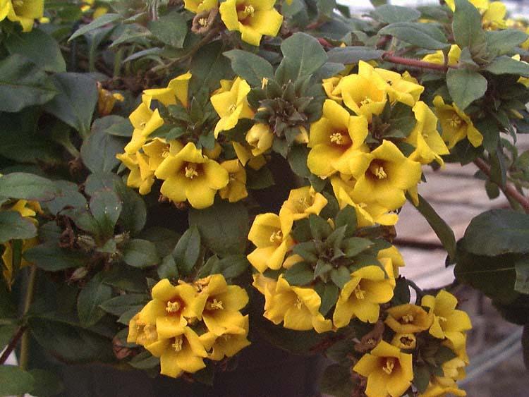 Golden Globes – Lysimachia  congestiflora (L. procumbens)