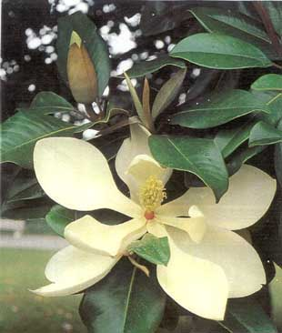 Large-Flowered Magnolia – Magnolia grandiflora