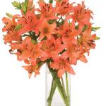 Mar - Coral Sunrsie Lilies