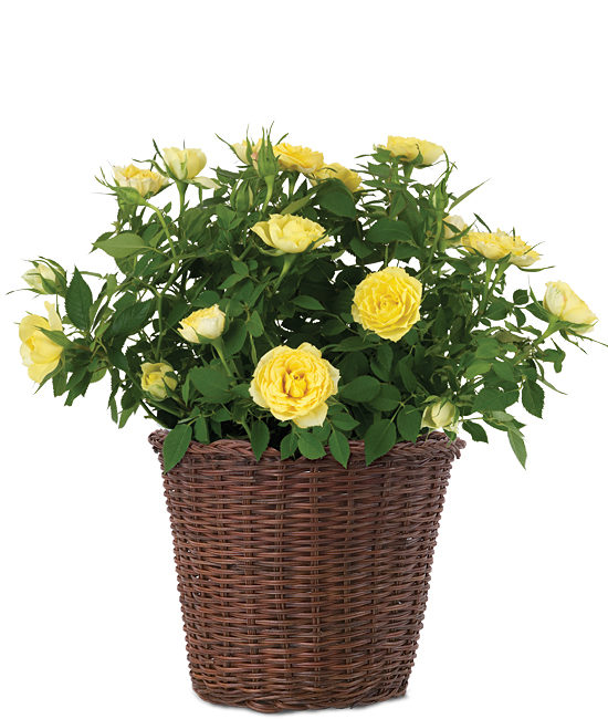 Mar - Miniature Yellow Rosebush
