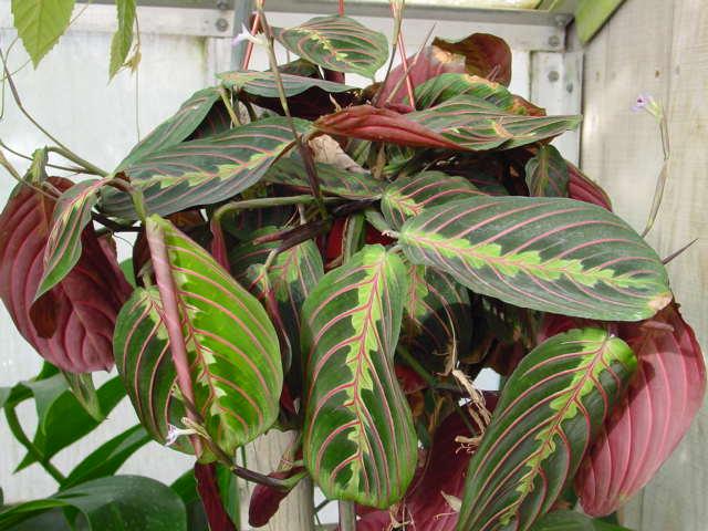 Prayer Plant – Maranta leuconeura