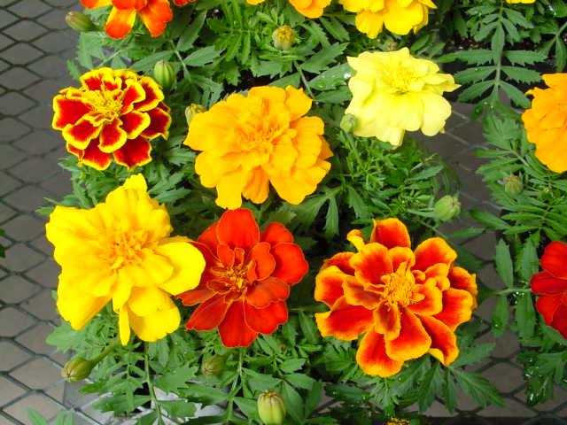 French Marigold – Tagetes patula
