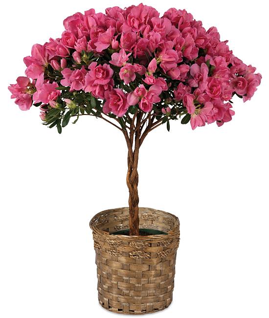May - Braided Azalea Topiary