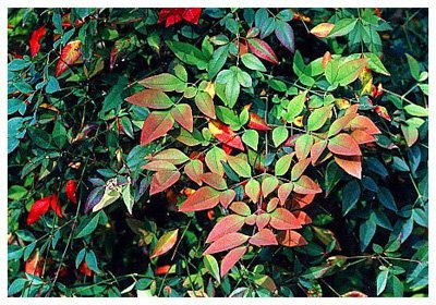 Heavenly Bamboo – Nandina domestica
