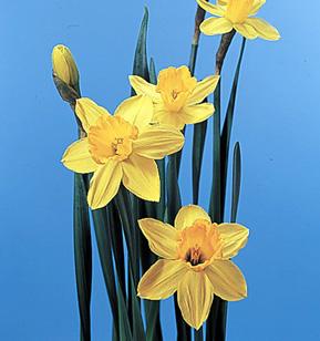 Daffodil – Narcissus pseudonarcissus