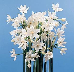 Paper-White Narcissus – Narcissus papyraceus