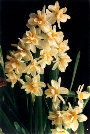 Polyanthus Narcissus – Narcissus tazetta