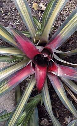 Blushing Bromeliad – Neoregelia carolinae