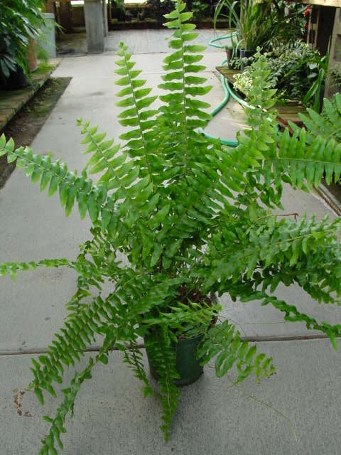Boston Fern – Nephrolepis exaltata