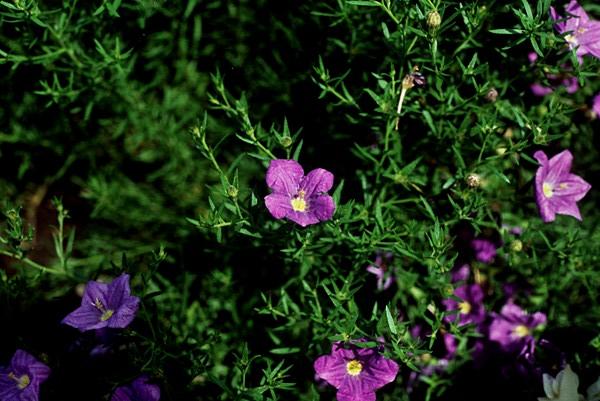 Cupflower – Nierembergia hippomanica (N. caerulea), N. spp.