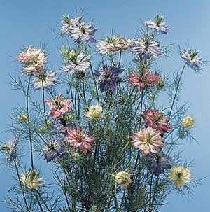 Love in a Mist – Nigella damascena