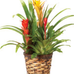 Nov - Yellow/Red Triple Bromeliad Plant
