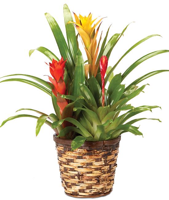 Nov - Yellow/Red Triple Bromeliad Plant