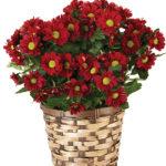 Oct - Burgundy Daisy Plant