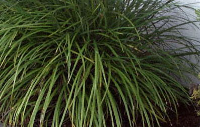 Lilyturfs – Liriope spp., Ophiopogon spp.