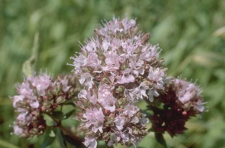 Oregano – Origanum vulgare