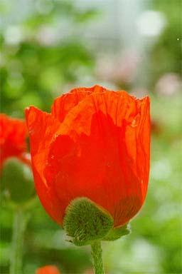 Oriental Poppy – Papaver orientale