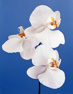 Moth Orchid – Phalaenopsis spp.
