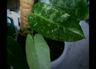Spade-Leaf Philodendron – Philodendron domesticum