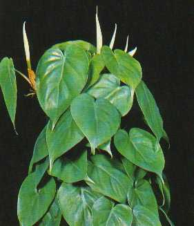 Heart Leafed Philodendron – Philodendron scandens scandens and P. scandens oxycardium