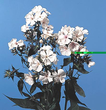 Perennial Phlox – Phlox paniculata