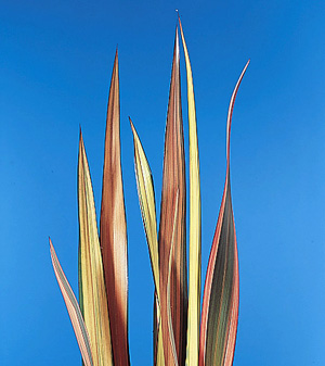 New Zealand Flax – Phormium tenax