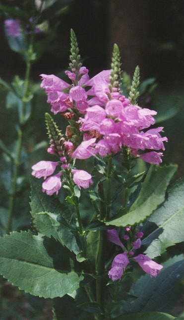 Obedient Plant – Physostegia spp. (most likely P. virginiana)