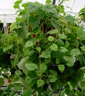 Piggyback Plant – Tolmiea menziesii