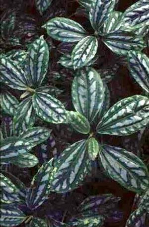 Pilea – Pilea spp. (P. cadierei, P. microphylla, P. involucrata, P. nummularifolia)