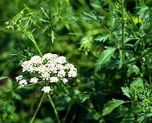 Anise – Pimpinella anisum