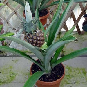 Pineapple – Ananas comosus