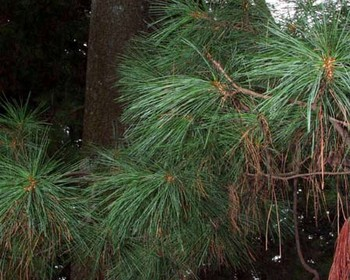 White Pine – Pinus (strobus, resinosa and sylvestris)